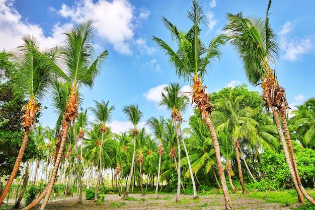 Coqueiros em uma ilha tropical nas maldivas, parte central do oceano índico.