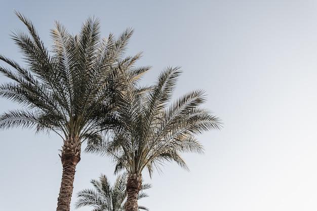 Coqueiros tropicais de verão contra o céu azul