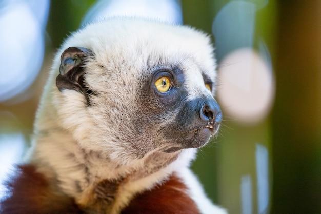 Coquerel sifaka em seu ambiente natural em um parque nacional na ilha de madagascar.