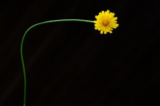 Cor amarela da flor dente de leão isolado no escuro