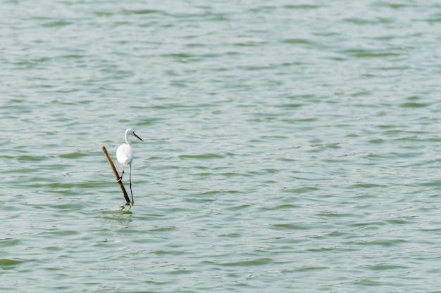 Cor branca do pássaro (garça-real, garça-branca ou egret) em uma lagoa ou água em uma natureza selvagem