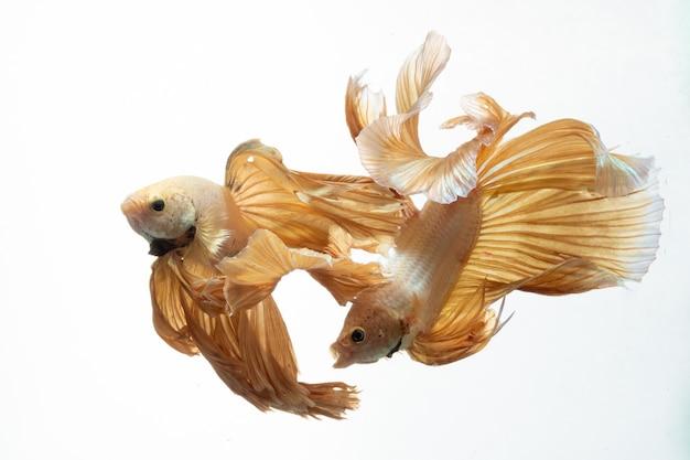 Cor de ouro amarelo do movimento de betta de peixe-lutador-siamês em fundo branco