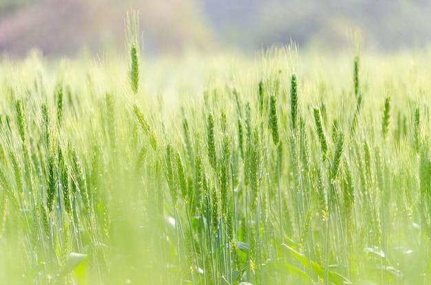 Cor verde de grãos de cevada na fazenda