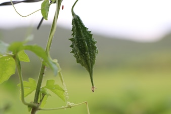 Cor verde pepino amargo na árvore no fundo da natureza