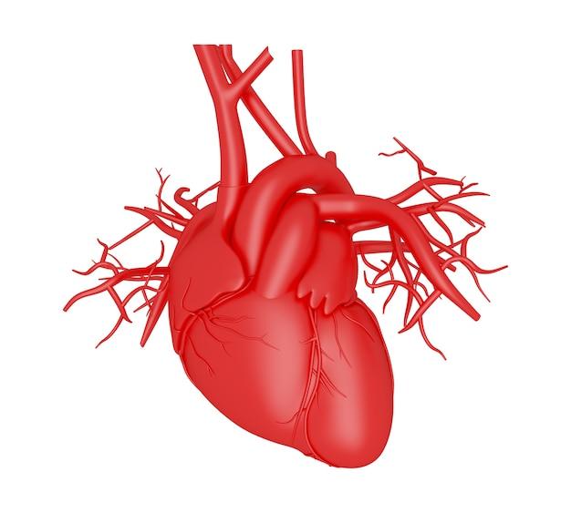 Coração humano 3d