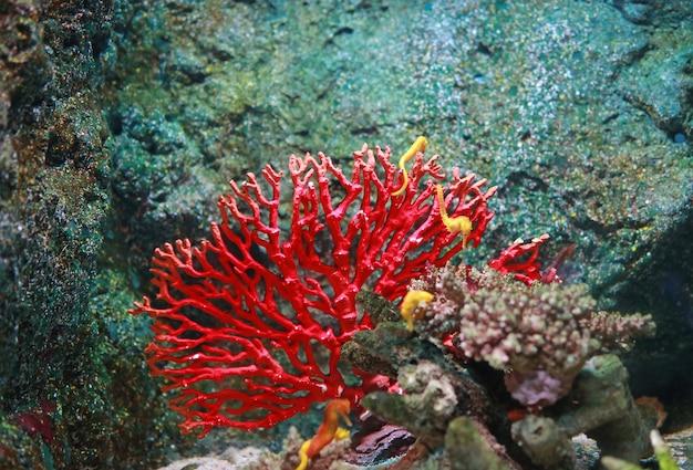 Corais com cavalo-marinho amarelo no aquário