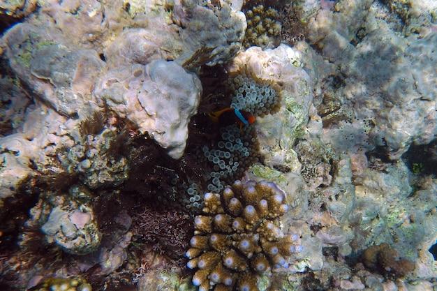 Corais debaixo d'água durante o mergulho na grande barreira de corais, austrália
