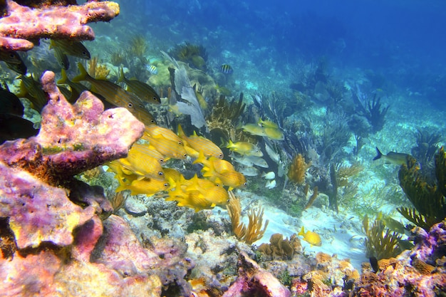Coral caribenho recife riviera maia peixe grunhido