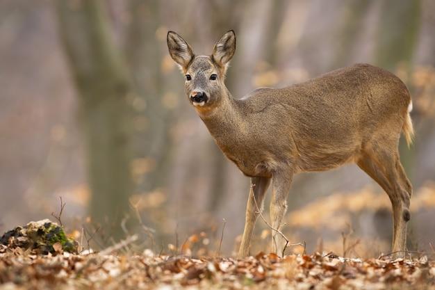 Corça de corça em pé na floresta de outono