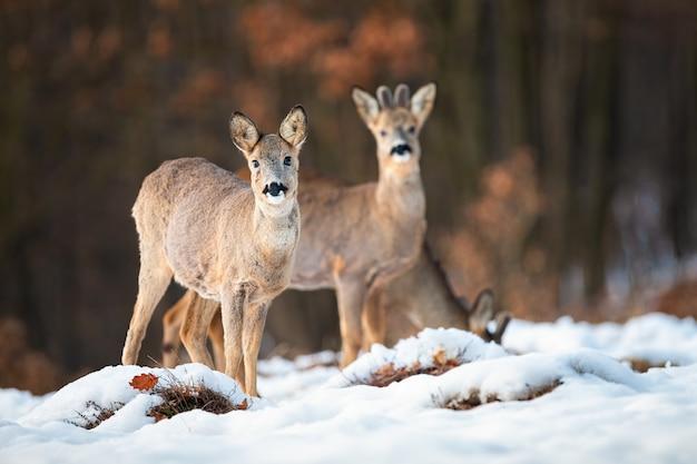 Corça de veado e buck no inverno