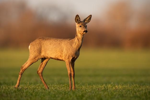 Corça dos cervos que olha além da vista lateral na noite ensolarada de primavera.