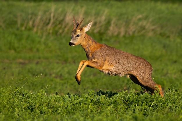 Corça, fanfarrão, perdendo pêlo e pulando enquanto corre na natureza da primavera