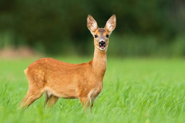 Corça que mastiga e que está na grama verde alta no pasto.
