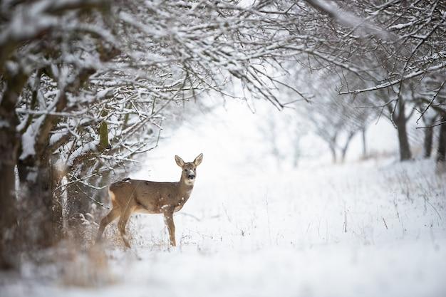 Corça solitária dos cervos que está na neve na floresta com espaço da cópia