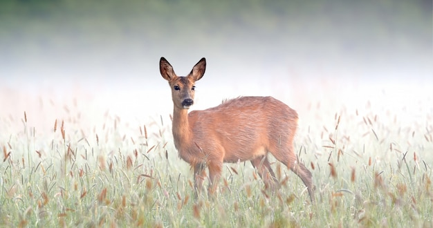 Corça surpreendida dos cervos de ovas que olham fixamente no prado na natureza nevoenta da mola.