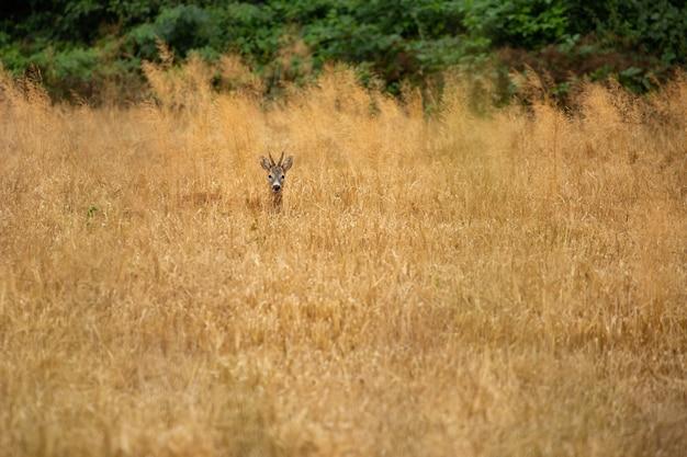 Corço na natureza mágica, bela vida selvagem europeia, animal selvagem no habitat natural