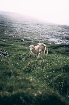 Cordeiro em uma colina verde na costa
