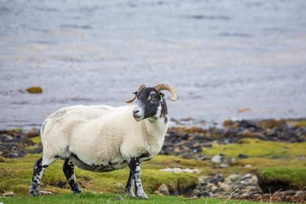 Cordeiro na escócia