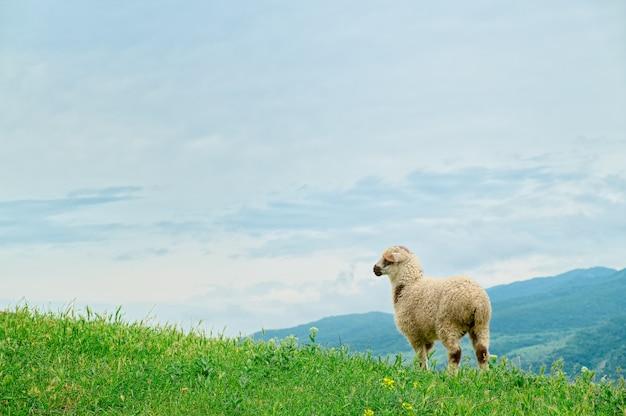 Cordeiro pastando em paisagem pitoresca