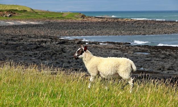Cordeiro pequeno come grama no campo perto do litoral de northumberland, na inglaterra