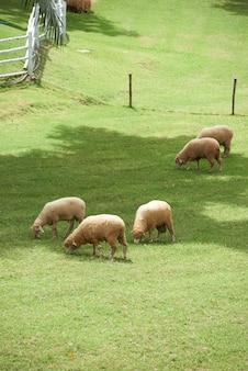 Cordeiros comendo grama no campo