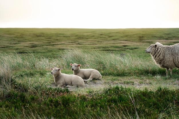 Cordeiros descansando na vegetação da ilha de sylt