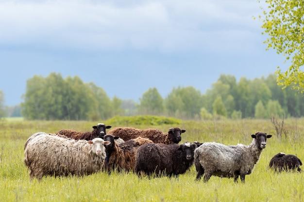 Cordeiros e ovelhas na grama verde