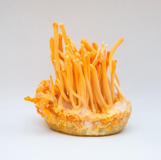 Cordyceps militaris é uma espécie de fungo na garrafa na sala de temperatura de controle