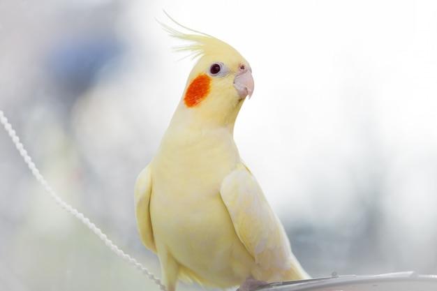 Corella papagaio amarelo na luz