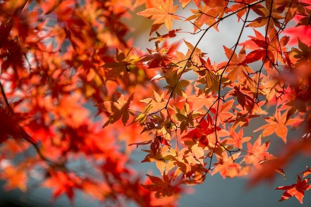 Cores da árvore das folhas de outono no kawaguchiko japão.