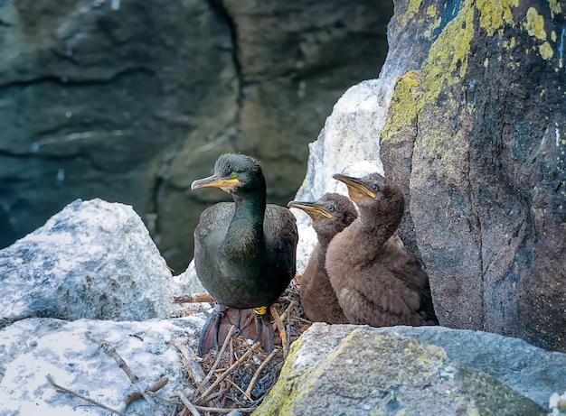 Cormorão adulto com dois filhotes sentados no filhote. ilha de maio. escócia. grã bretanha