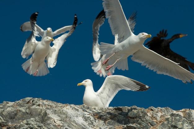 Cormorão-de-topete-duplo (phalacrocorax auritus) e gaivotas na costa, kenora, lago da madeira
