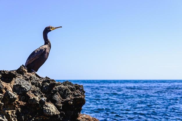 Cormorão preto, phalacrocorax carbo, descansando em algumas rochas junto ao mar mediterrâneo