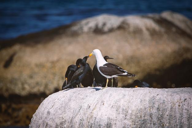 Cormotants do cabo e uma gaivota sentado em uma pedra na baía de betty, áfrica do sul