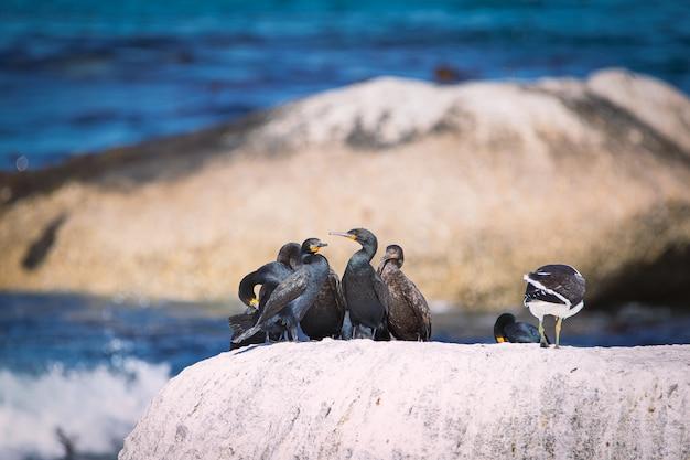 Cormotants do cabo que sentam-se em uma rocha na baía de betty, áfrica do sul