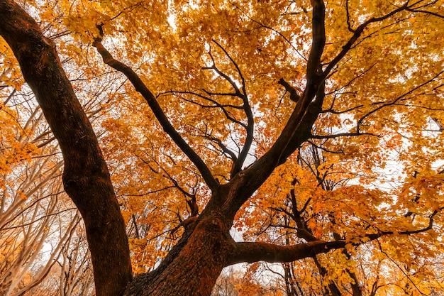 Coroa da árvore amarela no outono vista de dentro