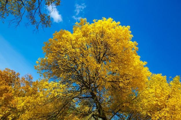 Coroa da árvore de outono com folhas amarelas contra o céu azul