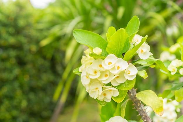 Coroa de flores amarelas de espinhos na árvore