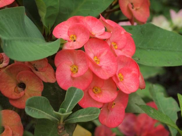 Coroa de flores de espinhos
