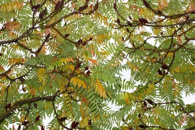 Coroa decídua de uma árvore com folhas verdes e amarelas de outono com o céu brilhando através delas