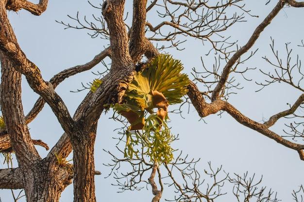 Coroa staghorn na árvore