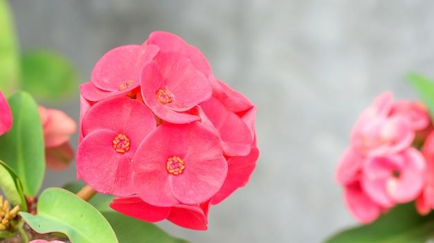 Coroa vermelha de espinhos ou flor de espinho de cristo no jardim