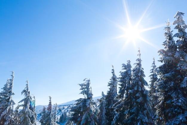 Coroas de árvores cobertas de neve na floresta de inverno no dia de inverno com céu azul acima