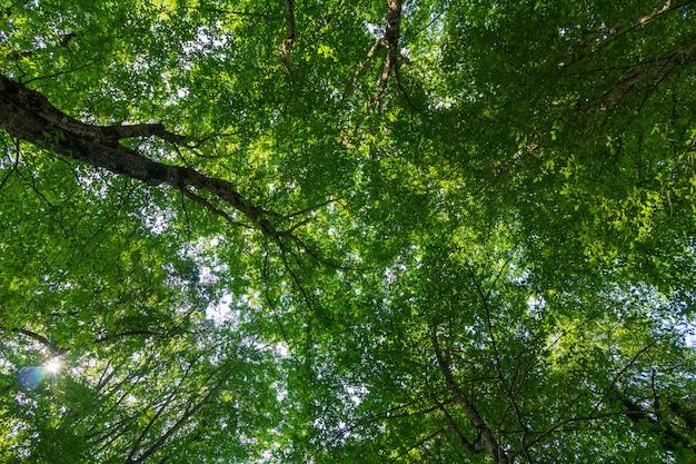 Coroas de árvores com folhas verdes em um dia de verão vista de baixo