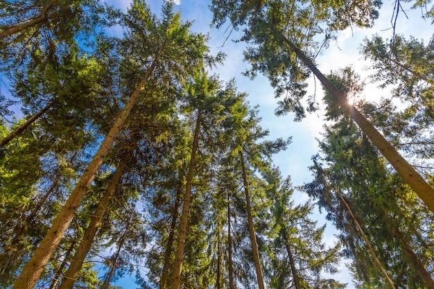 Coroas de árvores florestais coníferas contra o céu, vista inferior