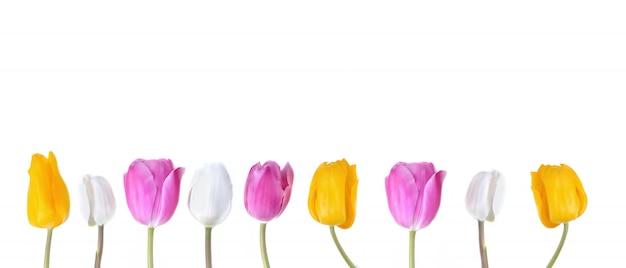 Corola de tulipas coloridas