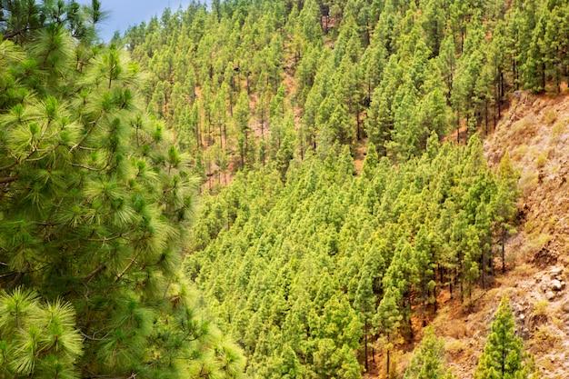Corona forestal no parque nacional de teide em tenerife