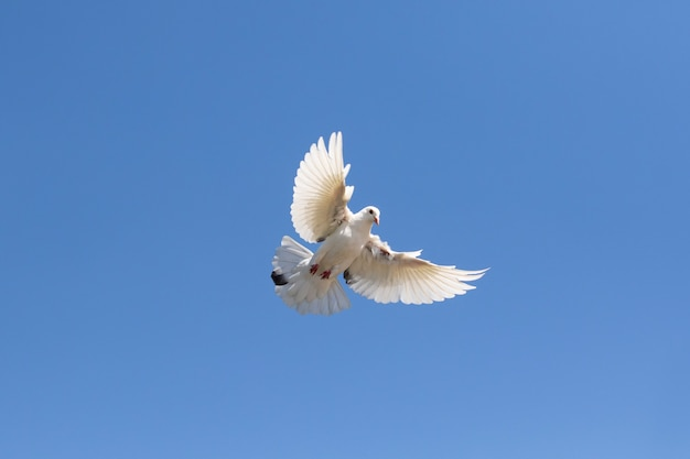 Corpo cheio de pena branca que dirige o pombo que voa contra o céu azul claro
