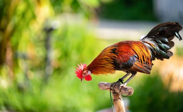 Corpo inteiro de galo adulto ou frango na fazenda.
