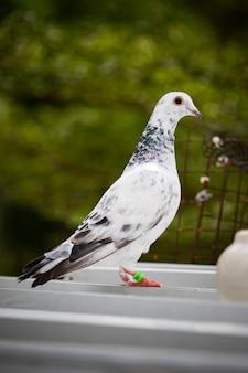 Corpo inteiro do pombo-correio no telhado da casa